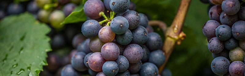 Merlot vs Cabernet Sauvignon, lees de verschillen in ons blog.