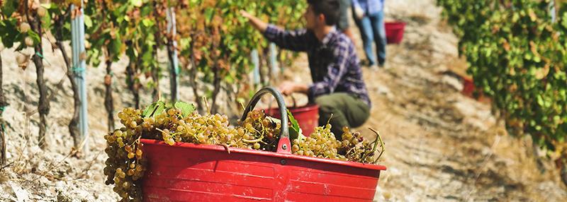 Lees meer over populaire Italiaanse druifsoorten