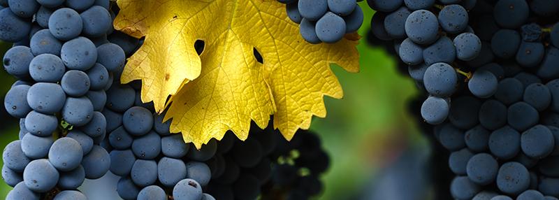 Lees meer over de kenmerken van de Cabernet Sauvignon