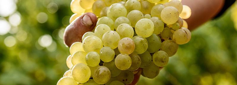 Cognac mag enkel van geselecteerde druivenrassen gemaakt worden