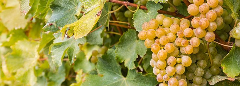 sauvignon blanc druiven: de basis van de wijn