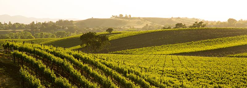 De sauvignon blanc wordt over de gehele wereld aangeplant