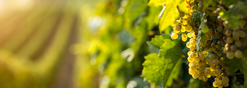 Chardonnay: lees meer over dit druivenras