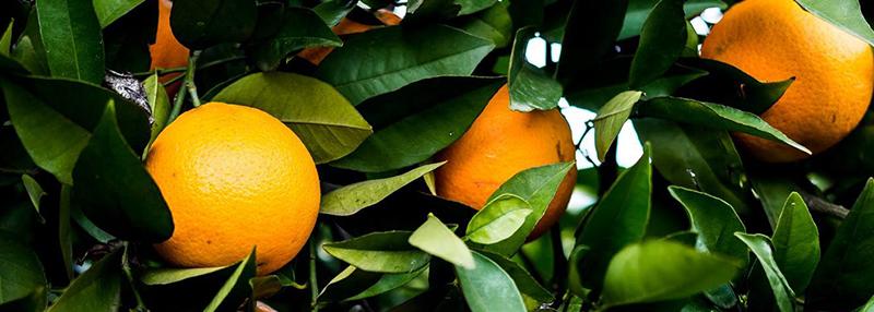 Sinaasappel: de basis van de likeur