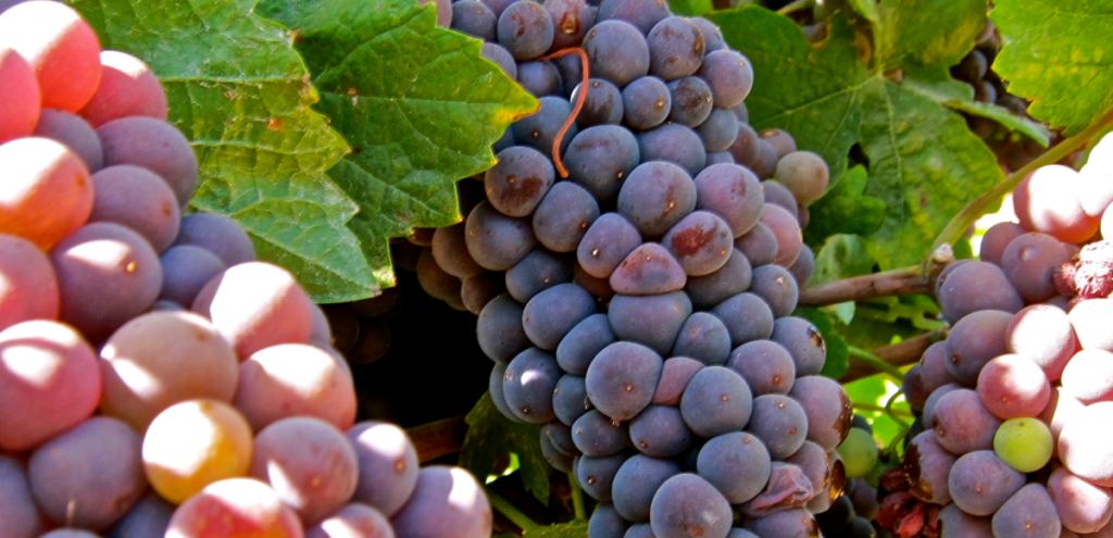 Pinot grigio druiven