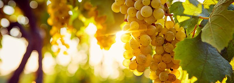chardonnay druiven