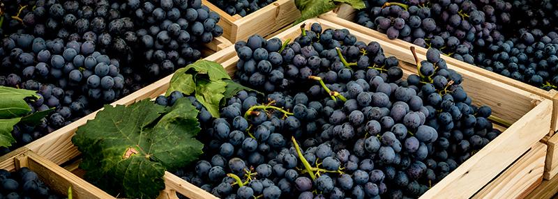 rode wijn druiven